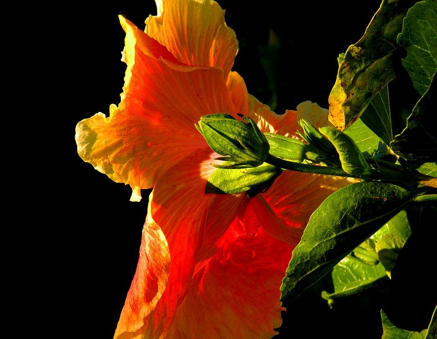 Flowers Photograph - Hibiscus In The Light by Rosalie Scanlon