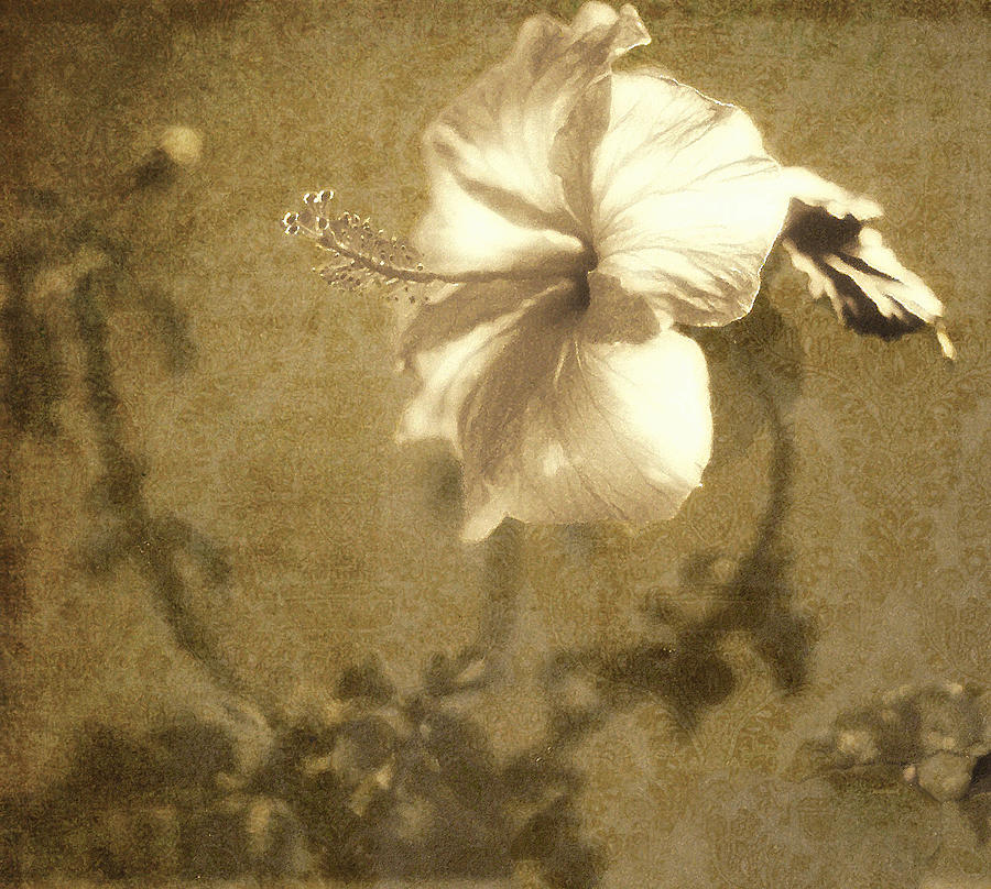 Hibiscus Photograph - Hibiscus Light by Kathy Bassett