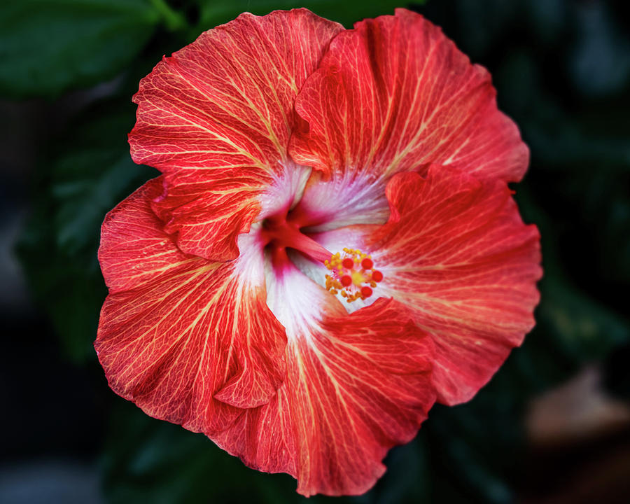 Hibiscus by Pamela S Eaton-Ford