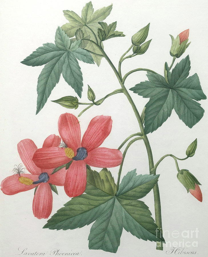 Hibiscus Painting - Hibiscus by Pierre Joseph Redoute