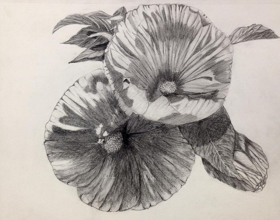 Hibiscus Drawing - Hibiscus Sketch by Nicole Curreri