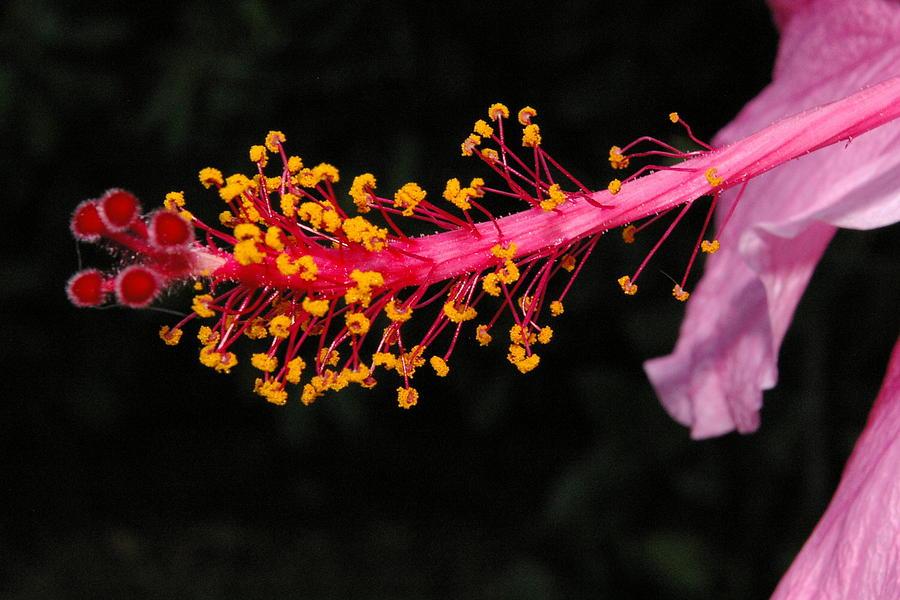 hibiscus stamen photograph by veron miller. Black Bedroom Furniture Sets. Home Design Ideas