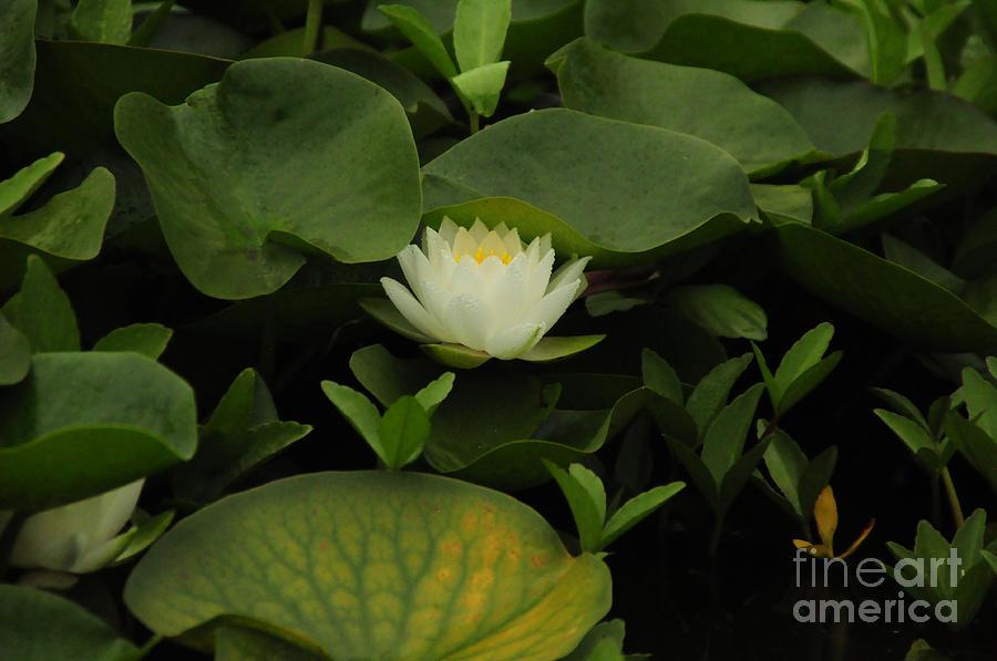 Lotus Photograph - Hidden Gem by Stevyn Llewellyn