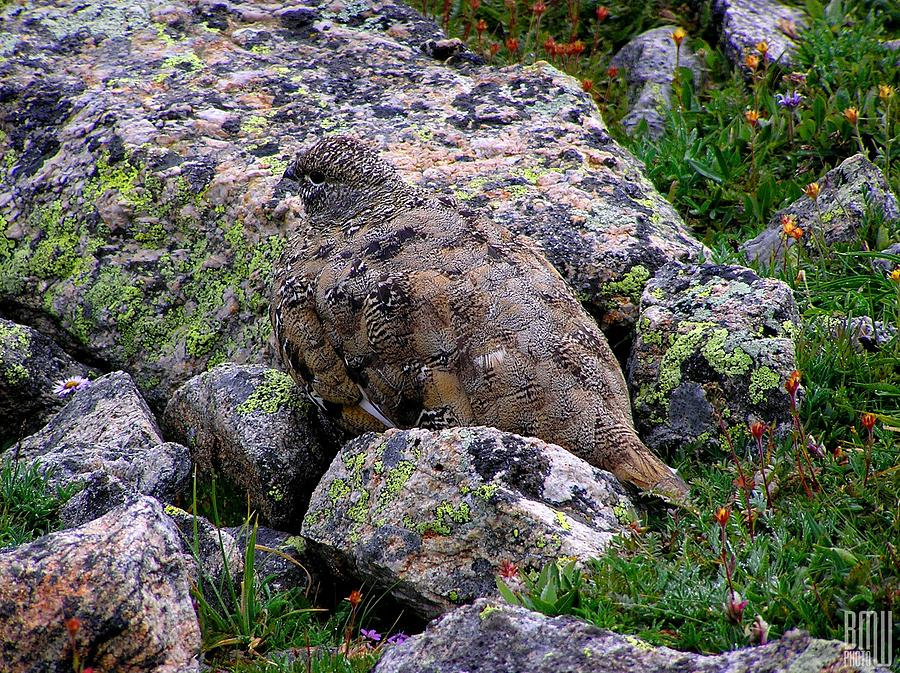 Ptarmigan Photograph - Hidden Ptarmigan by Benjamin Weilert