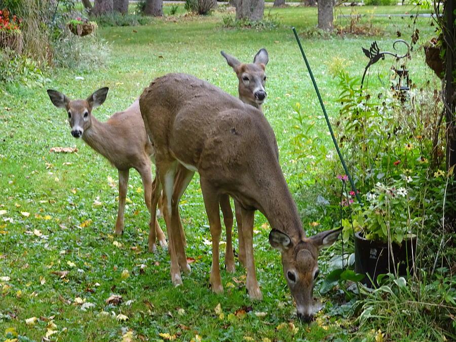 Deer Photograph - Hide And Seek by Red Cross