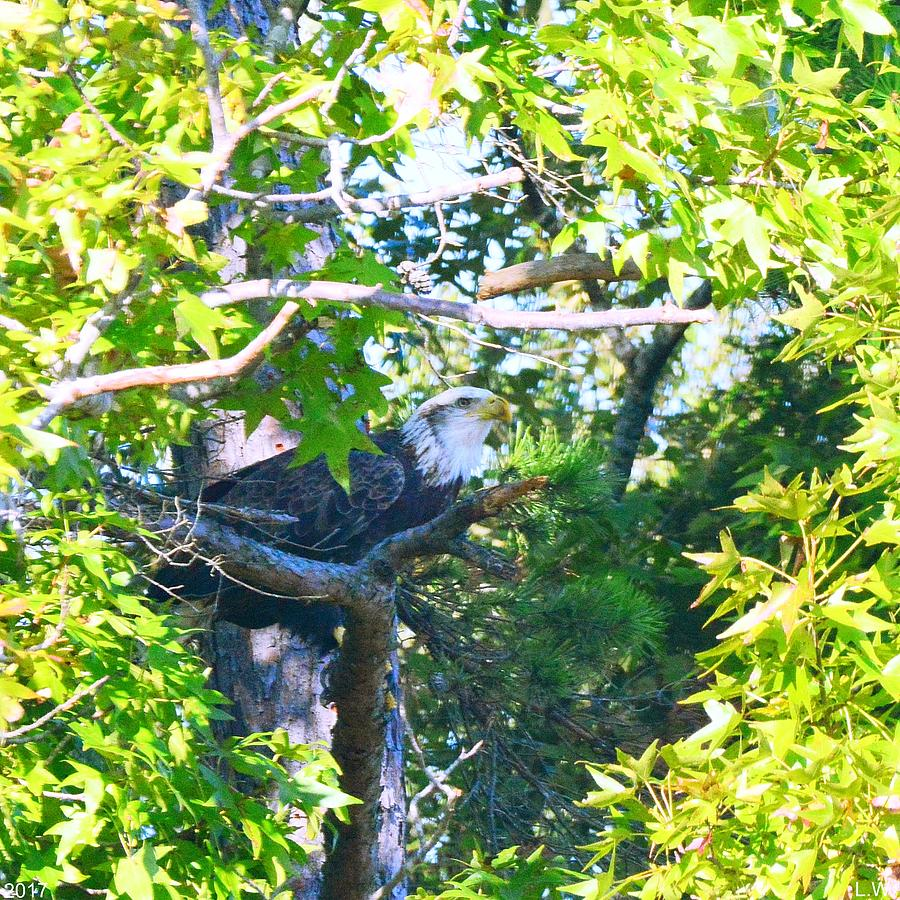 Bald Eagle Photograph - Hiding In The Trees by Lisa Wooten