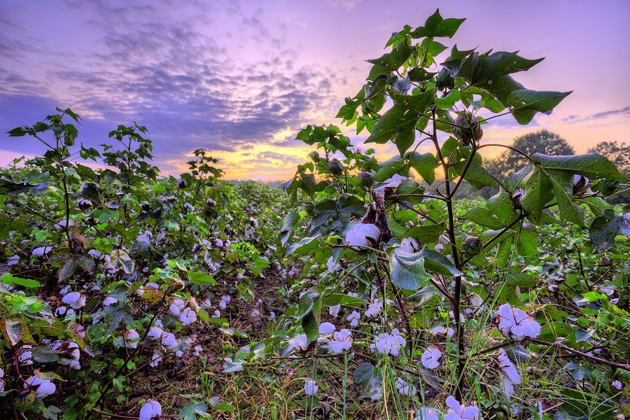 Cotton Photograph - High Cotton Sunrise by JC Findley
