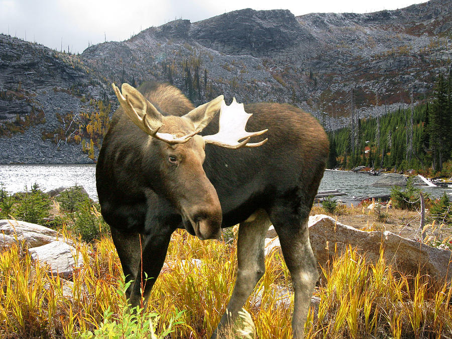 Moose Photograph - High Country Moose by Robert Bissett
