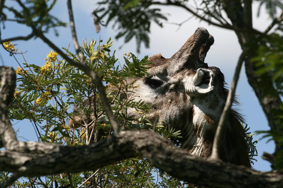 South Africa Photograph - High In The Trees by Andrei Fried