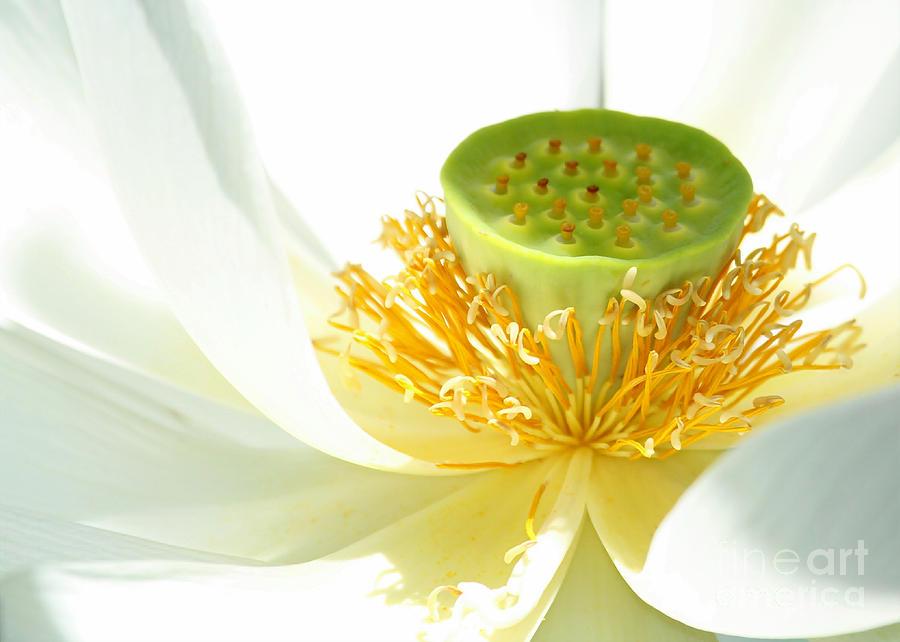 Lotus Photograph - High Key Lotus by Sabrina L Ryan