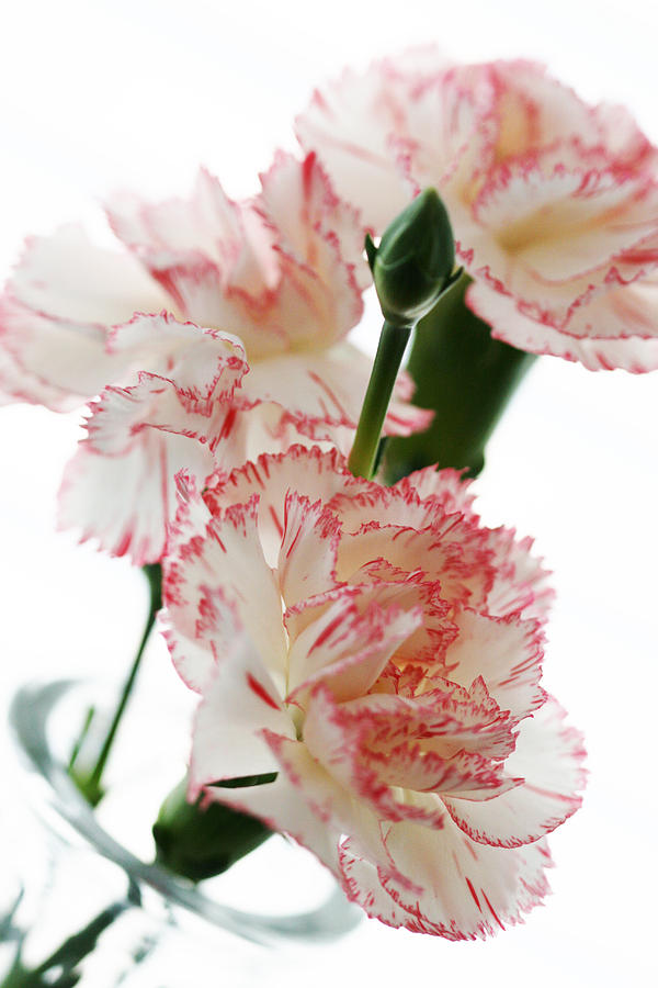 High Key Pink And White Carnation Floral Photograph by Kathy Clark