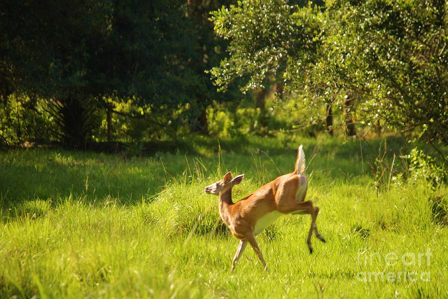 Deer Photograph - High Tailing It by Keri West
