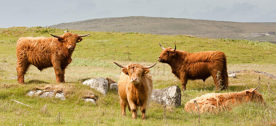 Scotland Photograph - Highland Cattle by Colette Panaioti