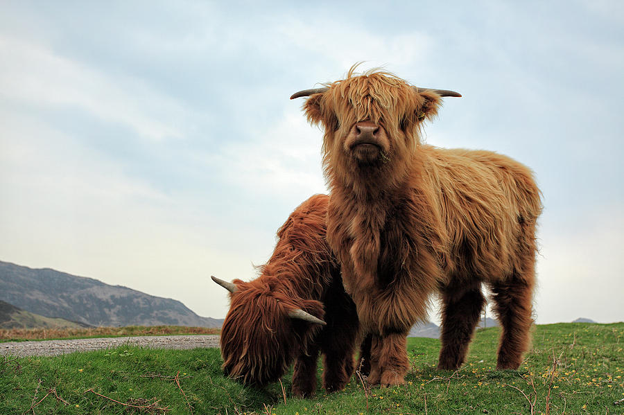 Highland Cows Photograph - Highland Cow Calves by Grant Glendinning