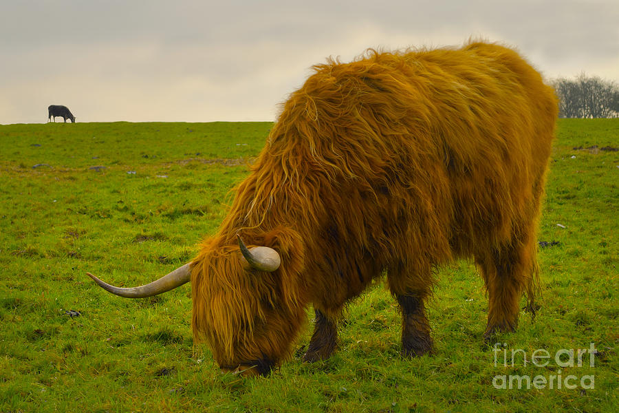 Highland Cow Grazing Photograph
