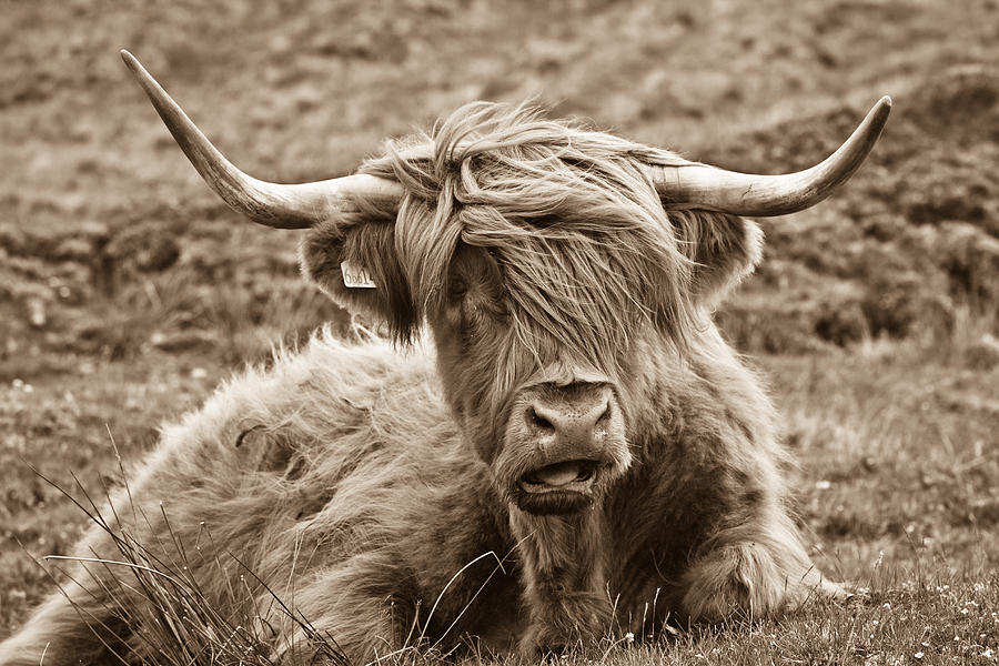 Sepia Photograph - Highland Cow  by Justin Albrecht