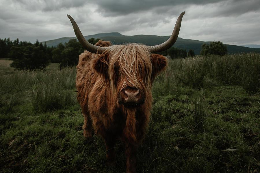 Highland Photograph - Highland Cow by Marina Weishaupt