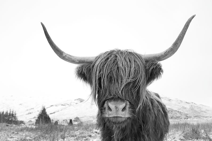 Highland Cow Mono Photograph