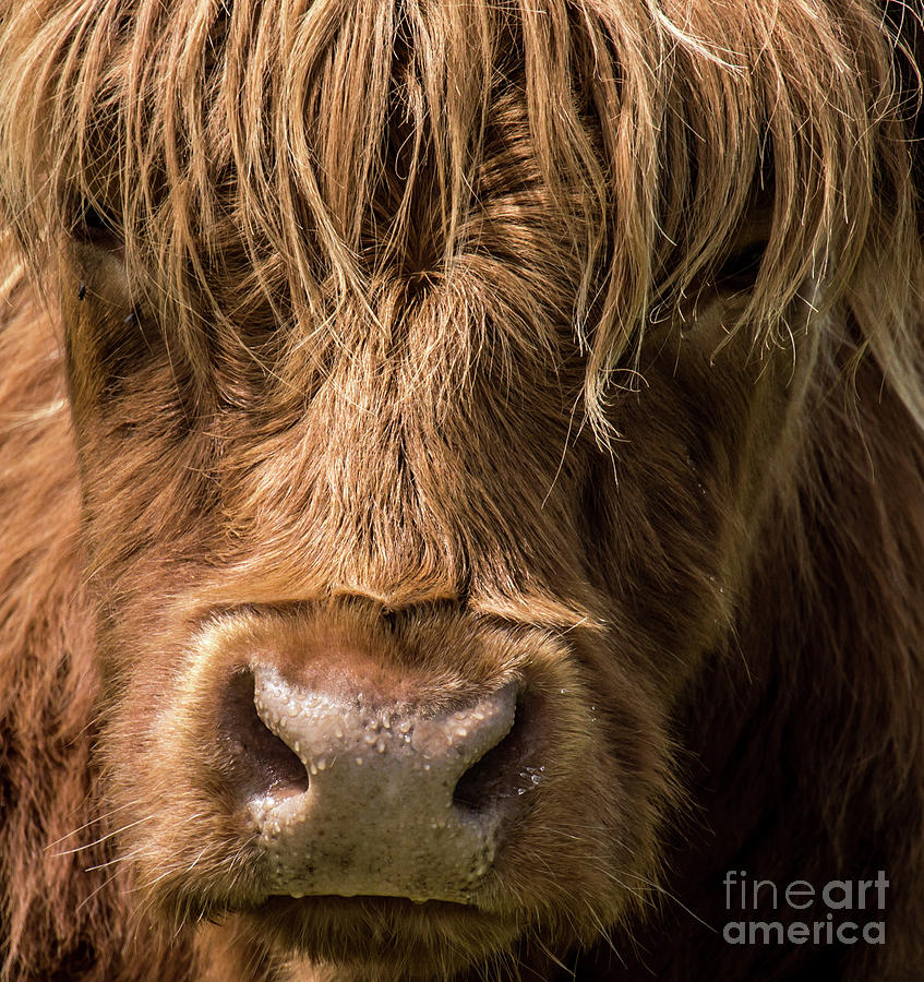 Highland Cow Portrait by Julie Chambers