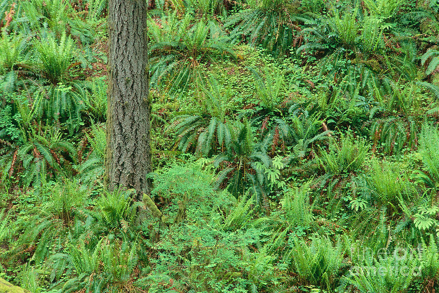 Brush Photograph - Hillside Ferns by Greg Vaughn - Printscapes