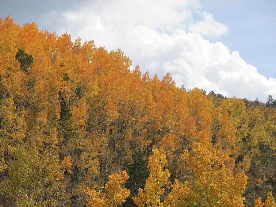 Hillside of Orange Aspens Trees by Julia L Wright