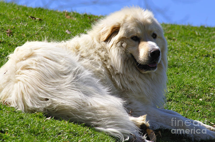 Great Pyrenees Photograph - Hillside Watch by Thomas R Fletcher