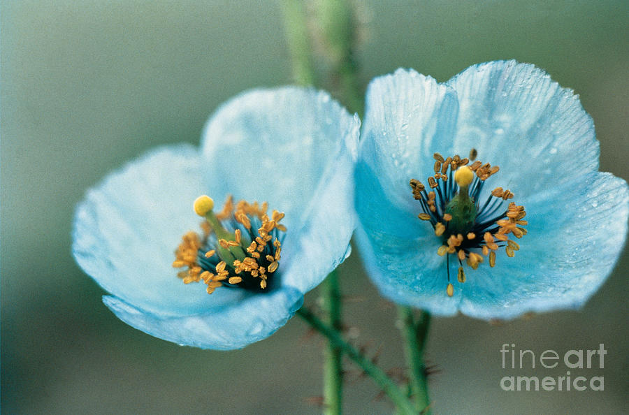 Flower Photograph - Himalayan Blue Poppy by American School