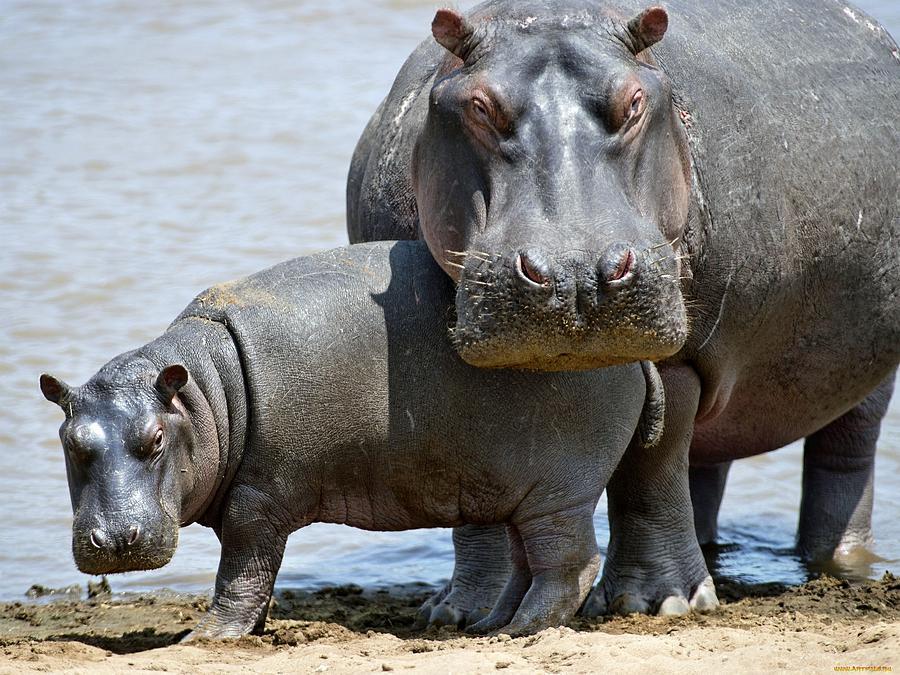 Hippo Digital Art - Hippo by Dorothy Binder