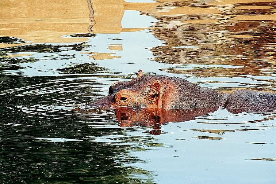 Animals Photograph - Hippo Scope by Jan Amiss Photography