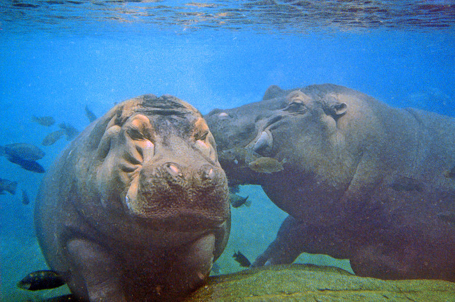 Hippos In Love Photograph