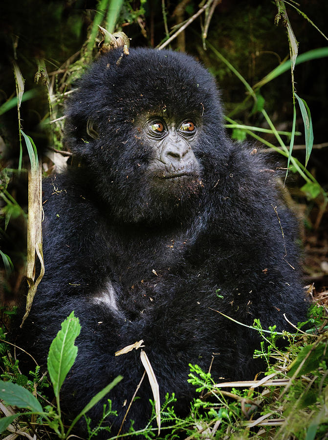 Gorilla Photograph - Hirwa Gorilla by Vicki Jauron