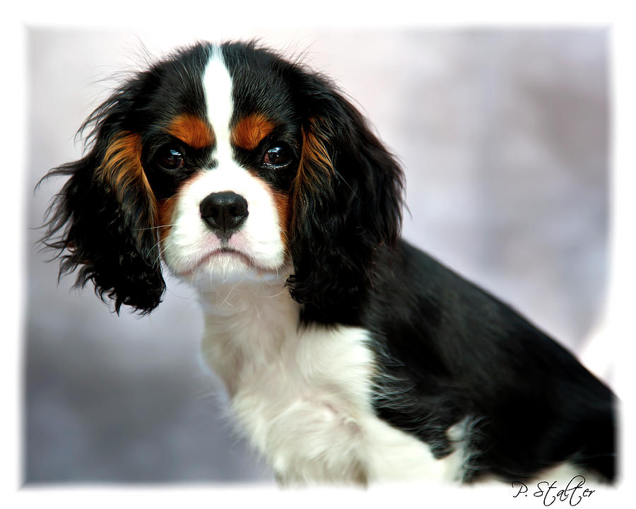 King Charles Photograph - His Highness by Patricia Stalter