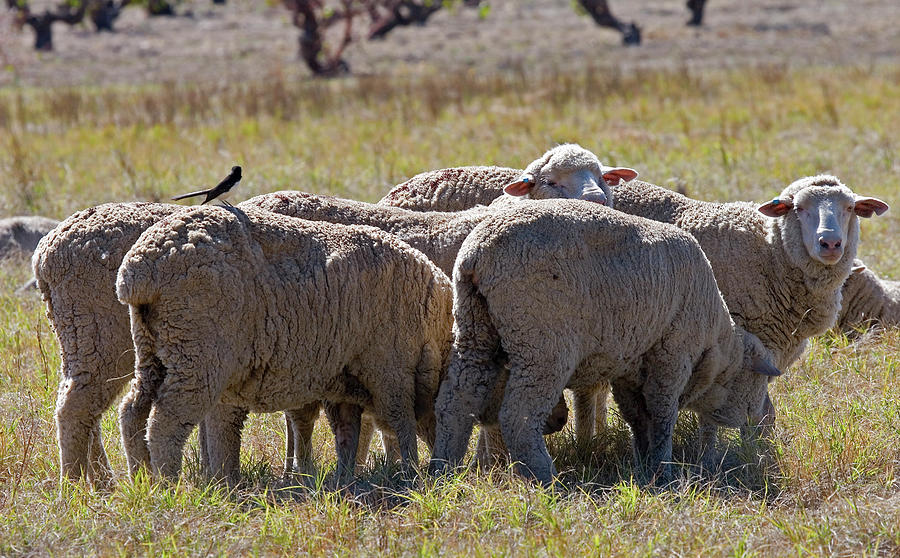 Sheep Photograph - Hitching A Ride by Mike  Dawson