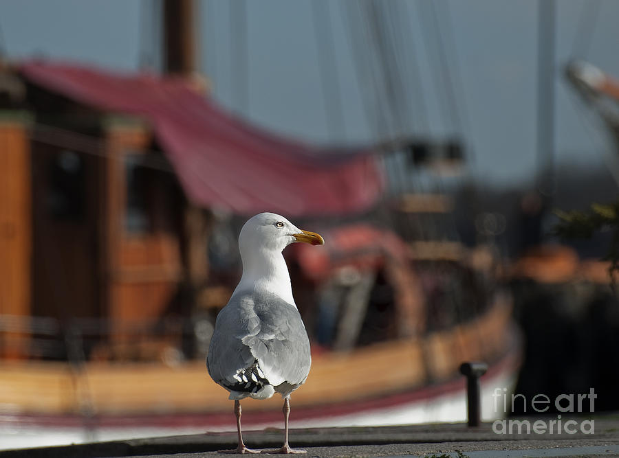 Herring Gull Photograph - Hmm... Sooo... East Or West Today... by Nina Stavlund