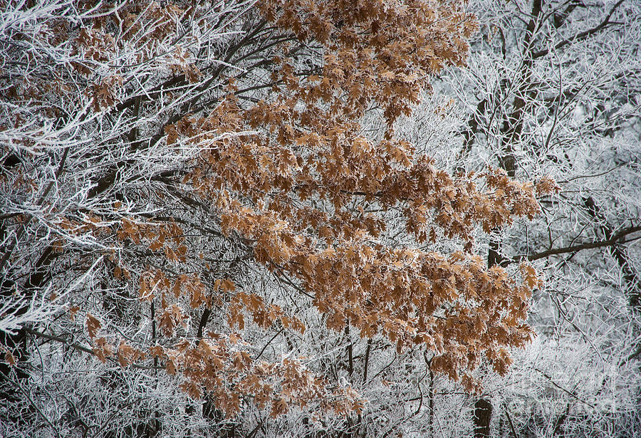 Kansas Photograph - Hoarfrost Trees by Fred Lassmann