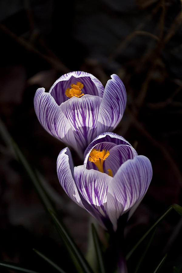 Crocus Photograph - Hocus Crocus by Shawn Young