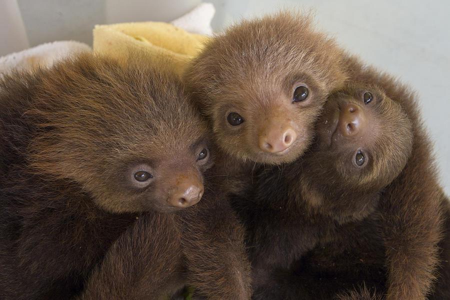 Mp Photograph - Hoffmanns Two-toed Sloth Choloepus by Suzi Eszterhas