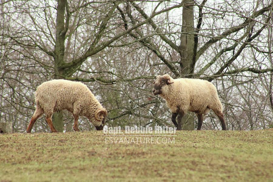 hog island sheep 8070 photograph by captain debbie ritter
