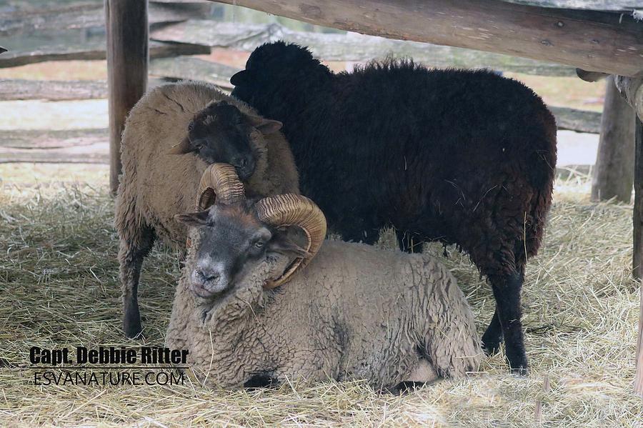 hog island sheep 8426 photograph by captain debbie ritter