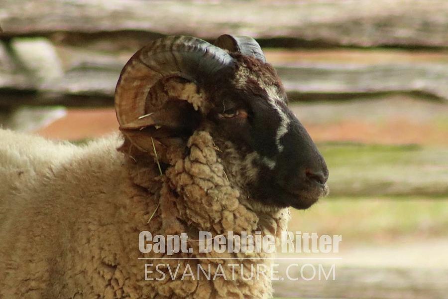 hog island sheep 8547 photograph by captain debbie ritter