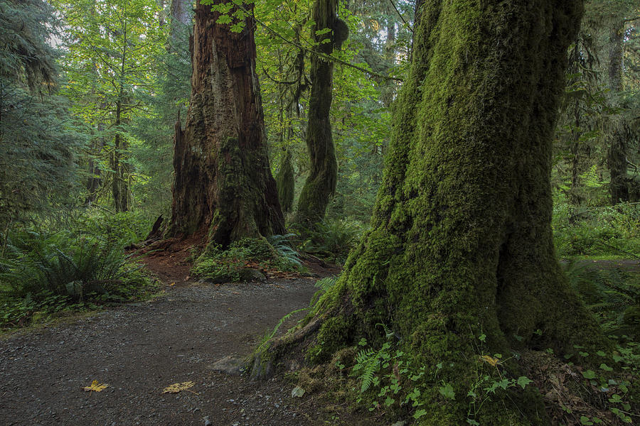 Path Photograph - Hoh Rainforest by Dave Crowl