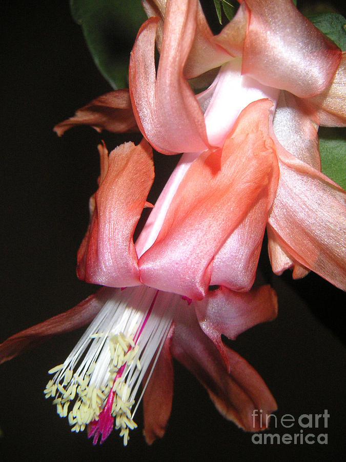 Nature Photograph - Holiday Cactus - A Full Bloom by Lucyna A M Green