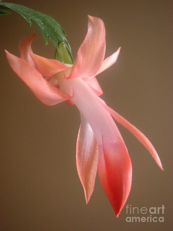 Nature Photograph - Holiday Cactus - In Day Light by Lucyna A M Green
