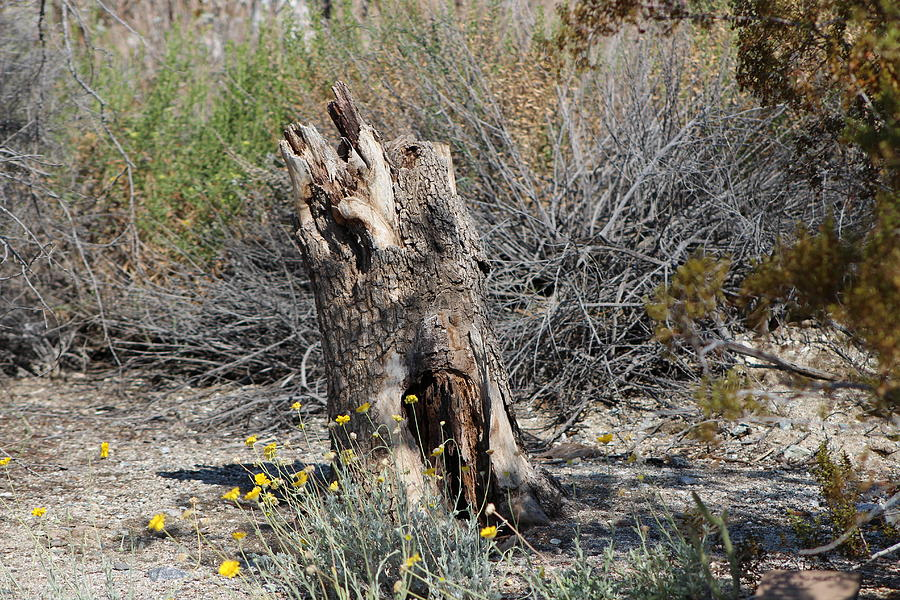 Stump Photograph - Hollowed Stump in Desert Landscape by Colleen Cornelius