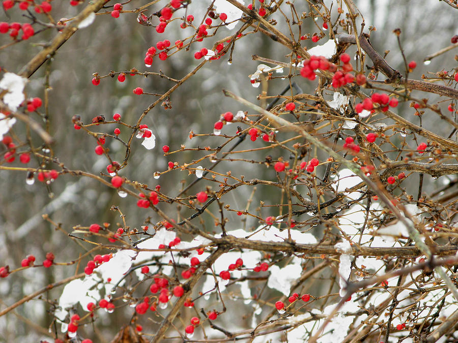 Scenic Photograph - Holly Berries by Martie DAndrea