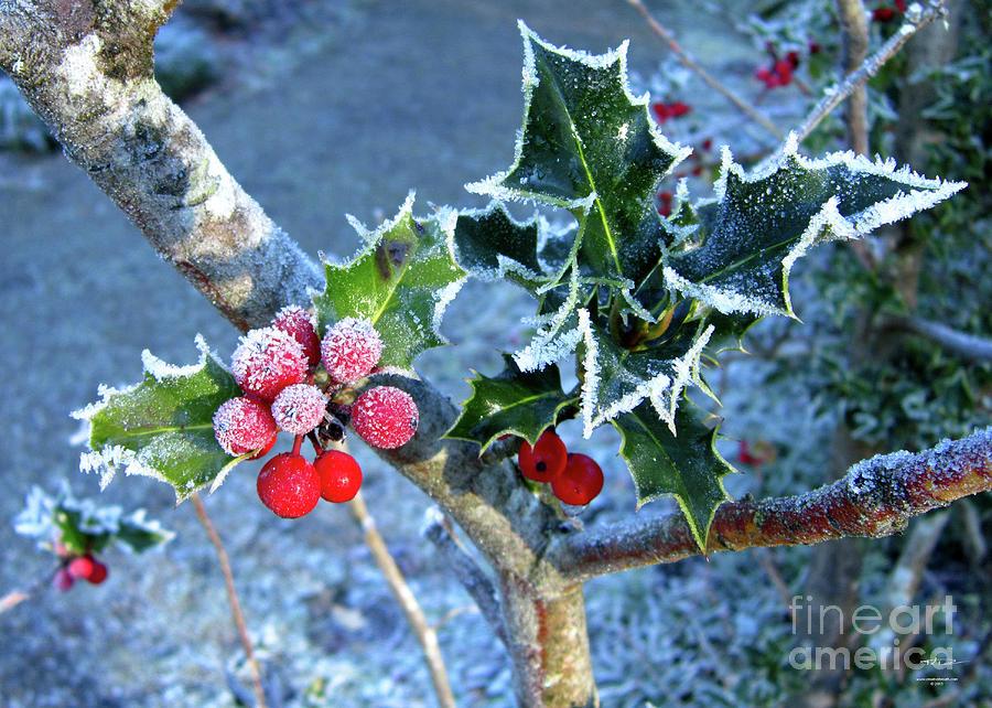 Holly Photograph - Holly Tinged With Frost by Katrina Perekrestenko