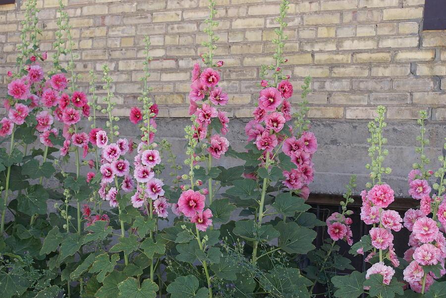 Floral Photograph - Hollyhocks by Cynthia Powell
