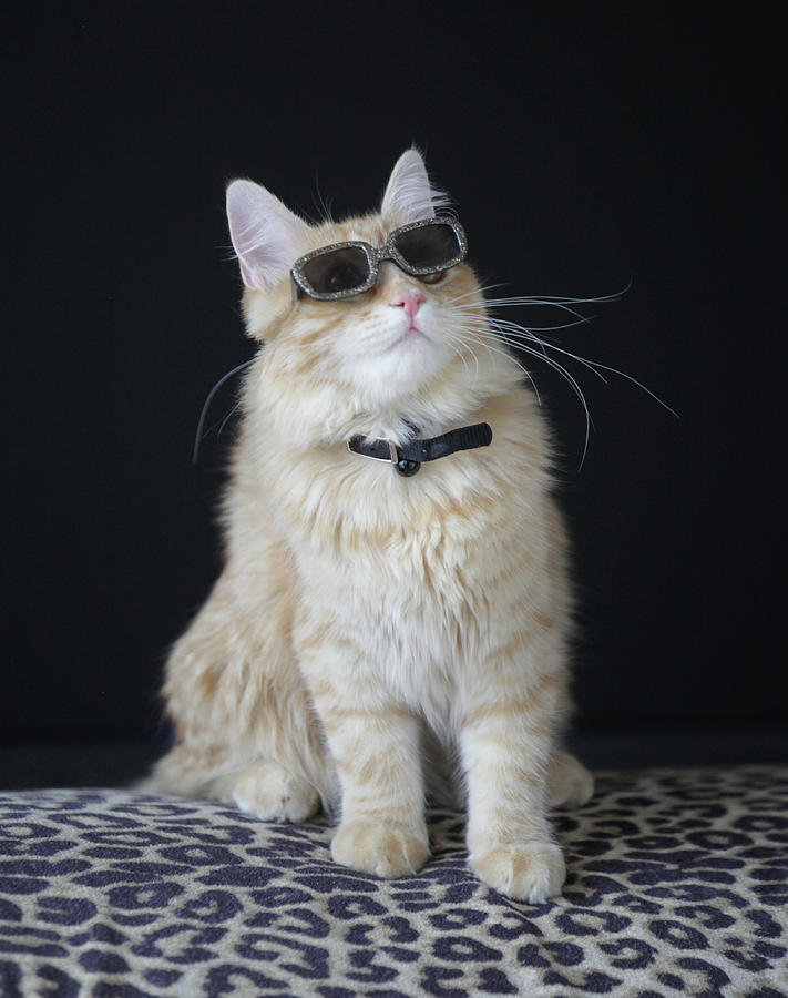 Hollywood Cat Photograph by Ann Hoff