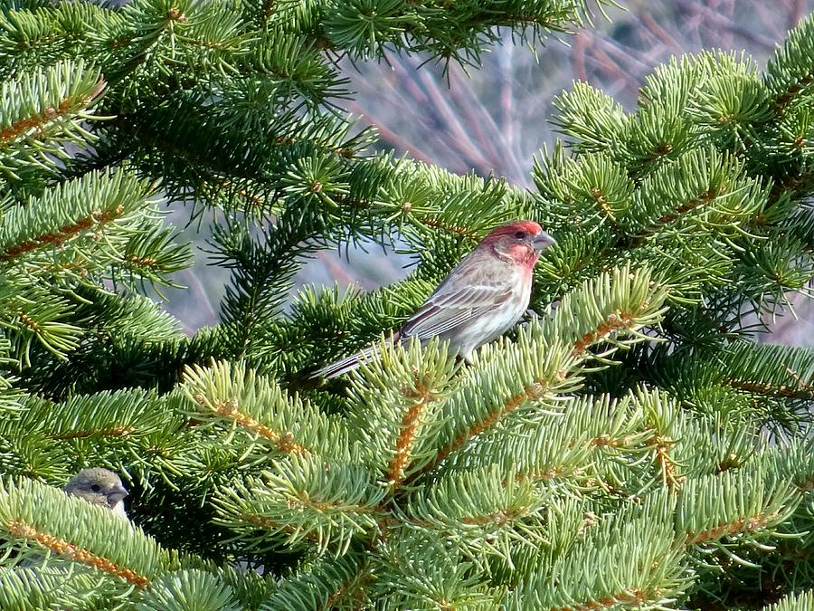 House Photograph - Home Sweet House Finch by Red Cross