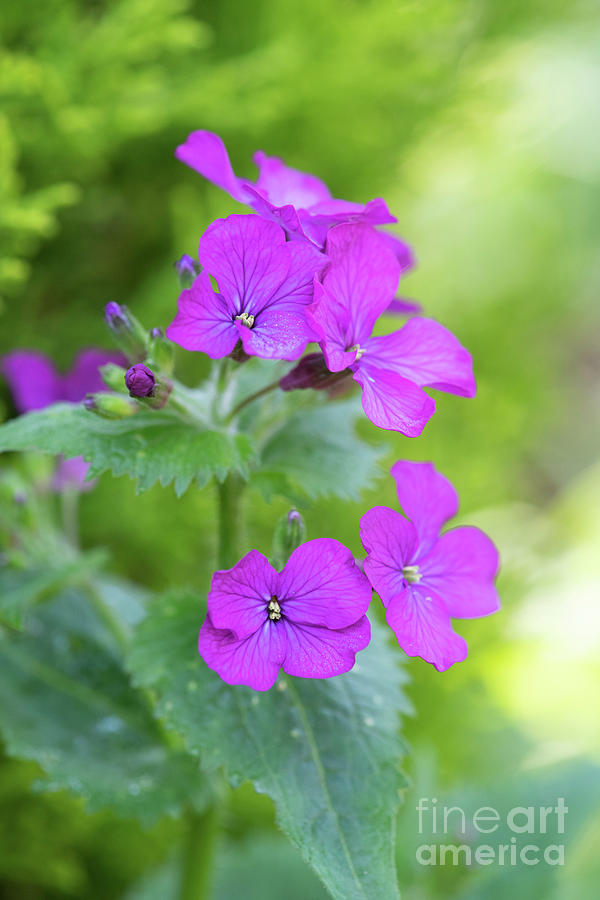 Lunaria Annua Photograph - Honesty Flowers by Tim Gainey